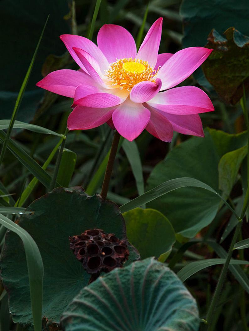 10 Graines De Lotus Sacre Nelumbo Nucifera Rose Plante ... pour Plante Bassin De Jardin