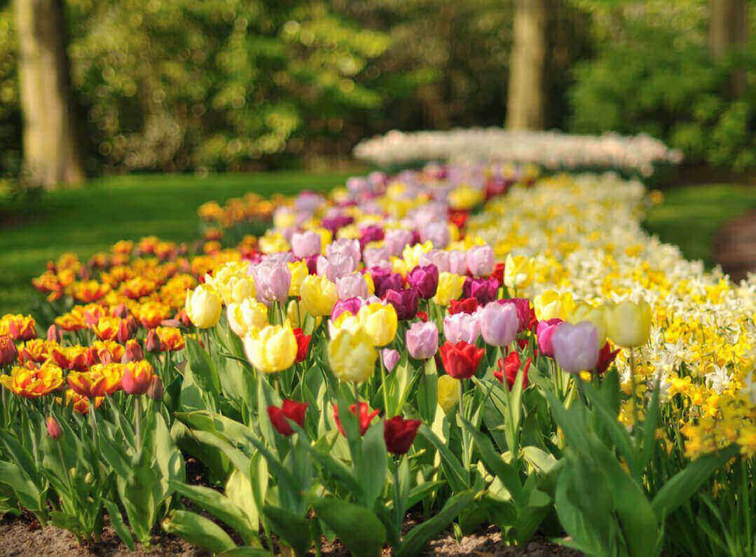 100+ [ Flower Garden Holland ] | Chrysanthemum Flowers Park ... encequiconcerne Jardin De Keukenhof