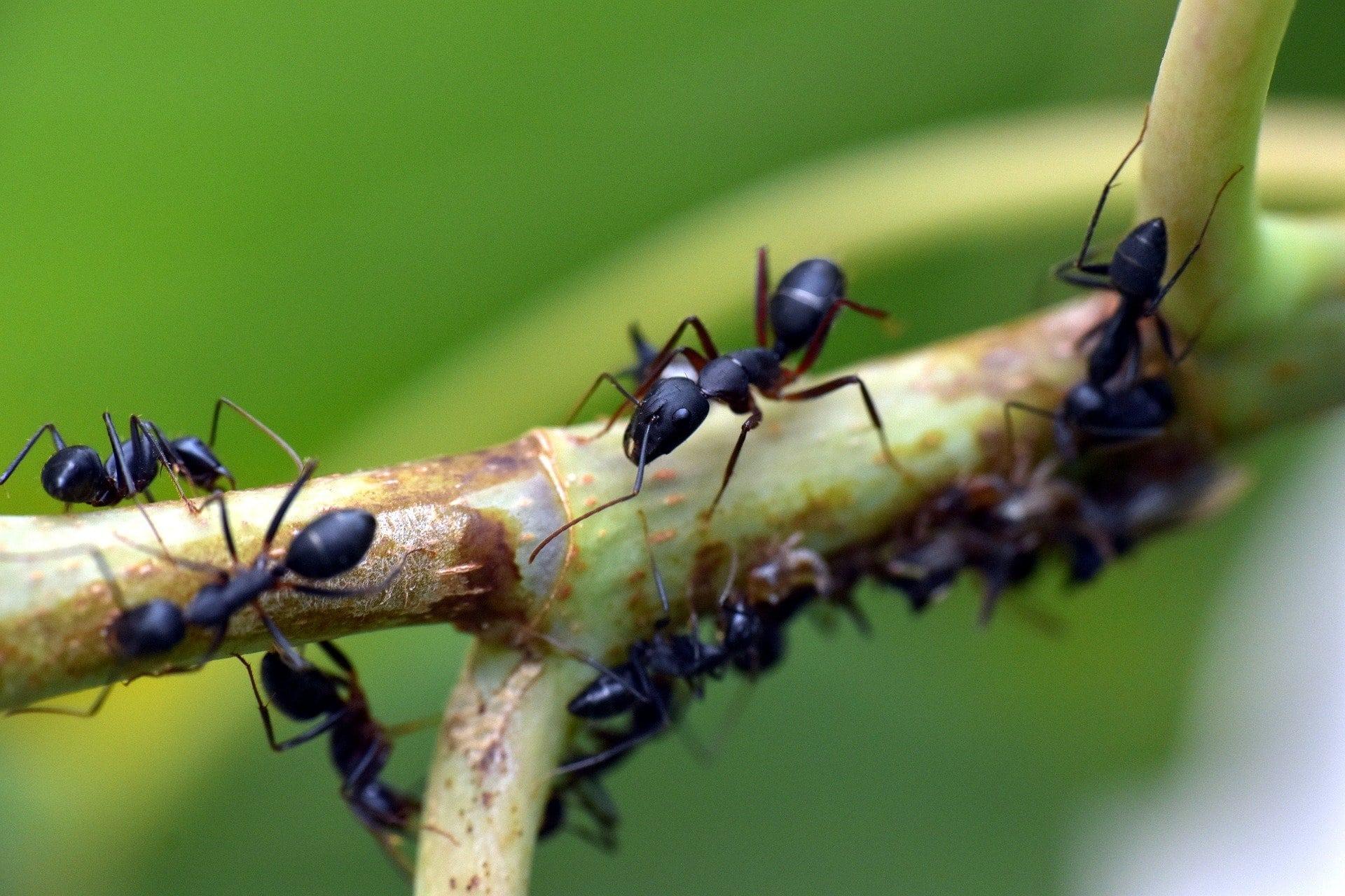 13 Méthodes De Comment Tuer Les Fourmis Dans Le Jardin ... tout Comment Éliminer Des Fourmis Dans Le Jardin