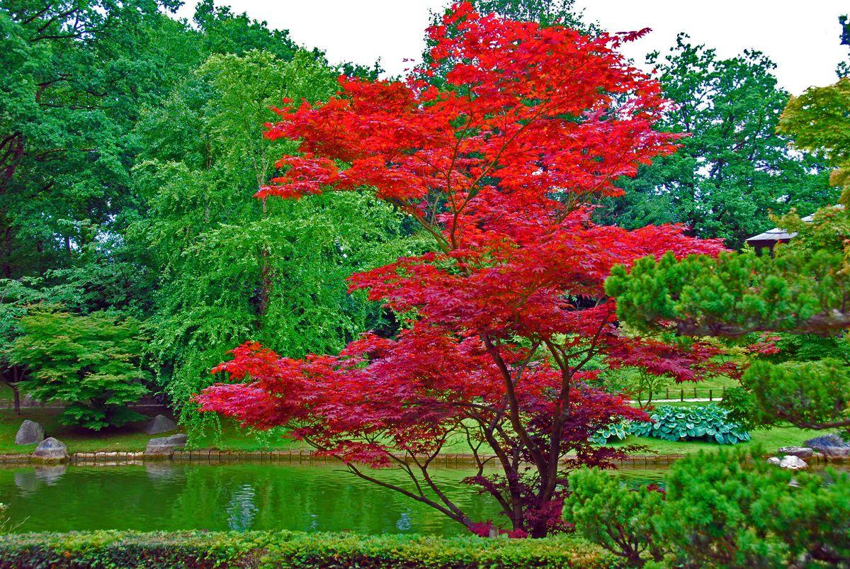 Acer Japonicum | Arbres - Trees | Jardins, Arbres Pour Petit ... tout Arbre Pour Petit Jardin