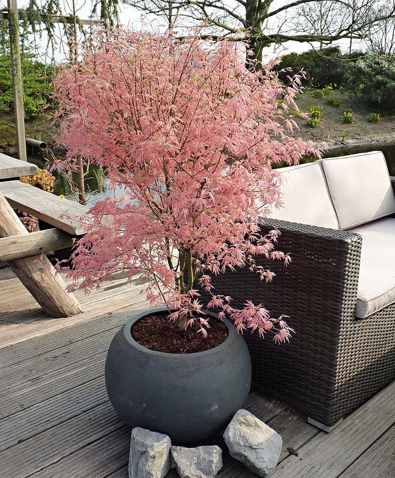 Achetez Maintenant Un Arbuste D'ornement Érable Du Japon ... pour Arbustes Decoration Jardin
