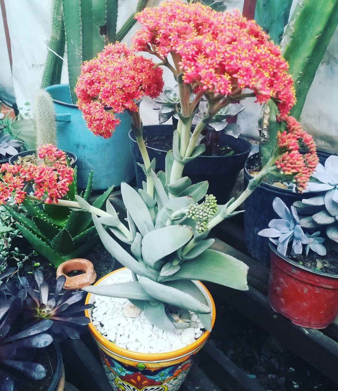 Aleta De Tiburón En Floración #crassulafalcata ... tout Vermiculite Jardin