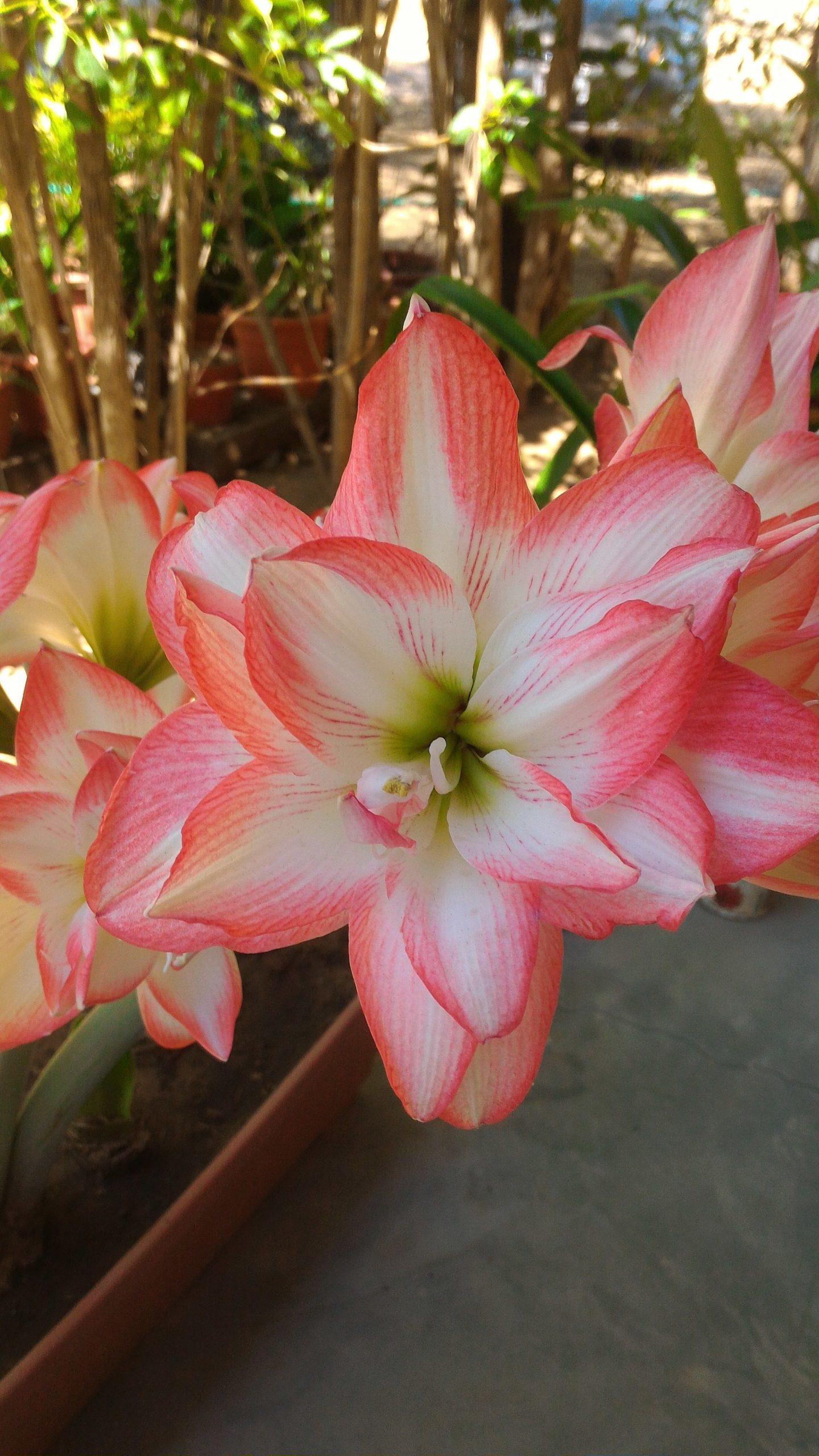 Amaryllis Blossom Peacock | Flores Bonitas, Flores Y Flores ... concernant Amaryllis De Jardin