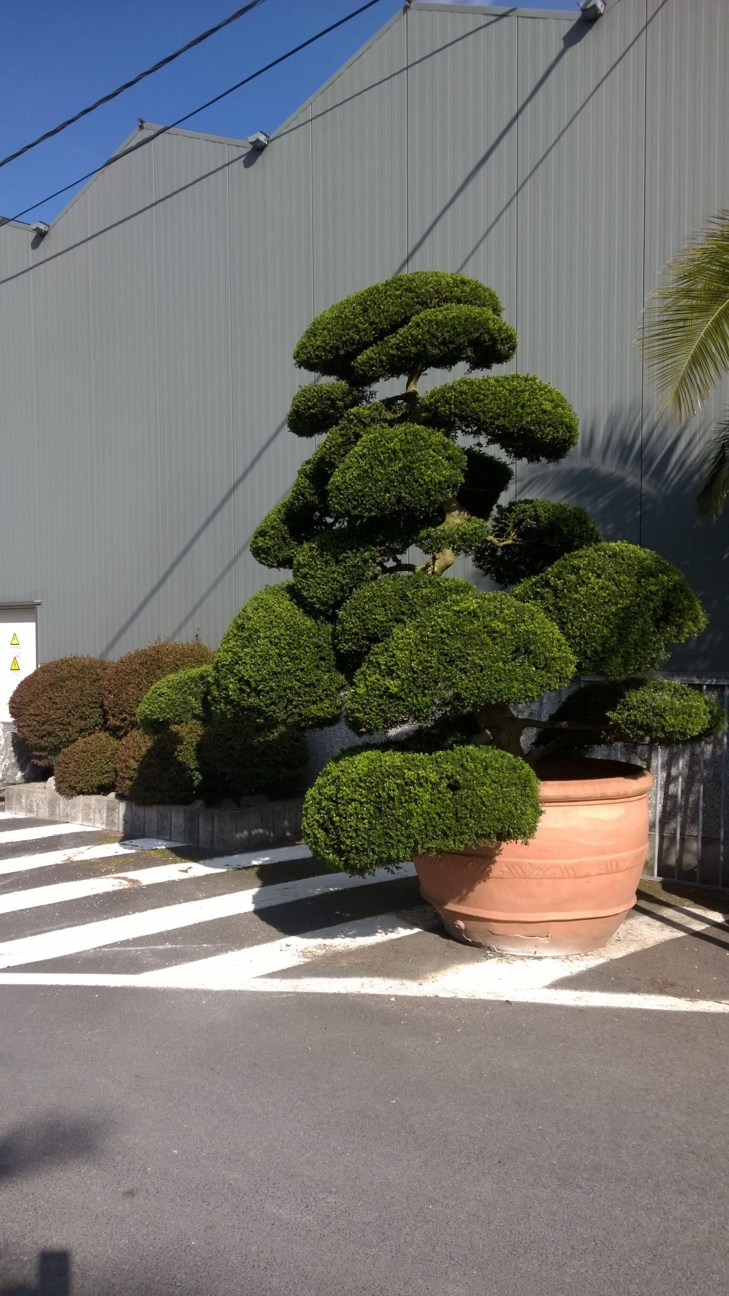 Arbres Nuage Japonais - Bonsai Geant Juniperus Virg. 'glauca ... avec Specialiste Du Jardin