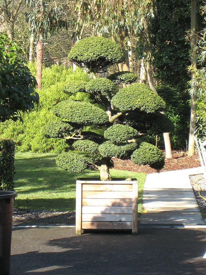 Arbres Nuage Japonais - Bonsai Geant Juniperus Virg. 'glauca ... concernant Specialiste Du Jardin