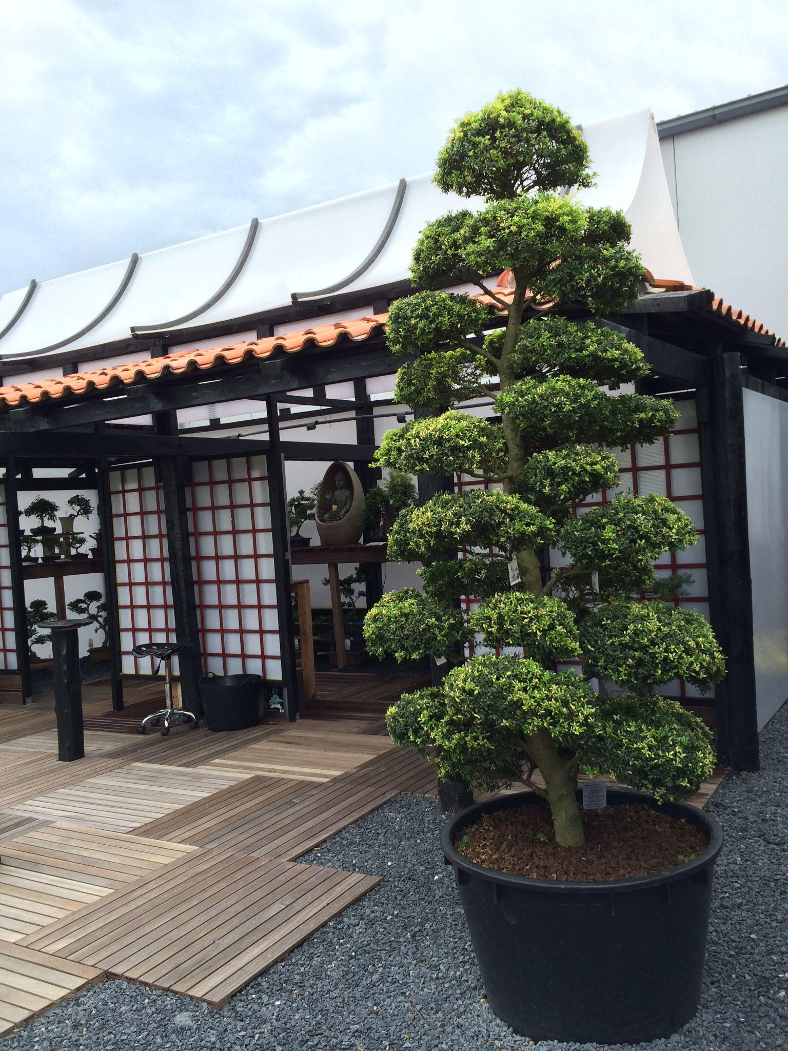 Arbres Nuage Japonais - Bonsai Geant Juniperus Virg. 'glauca ... encequiconcerne Specialiste Du Jardin