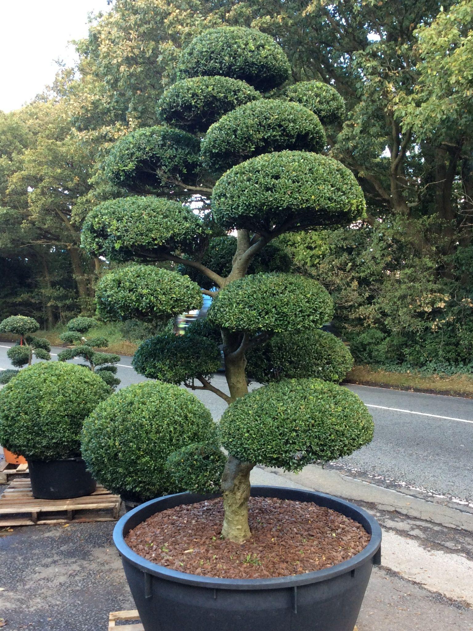 Arbres Nuage Japonais - Bonsai Geant Juniperus Virg. 'glauca ... pour Specialiste Du Jardin