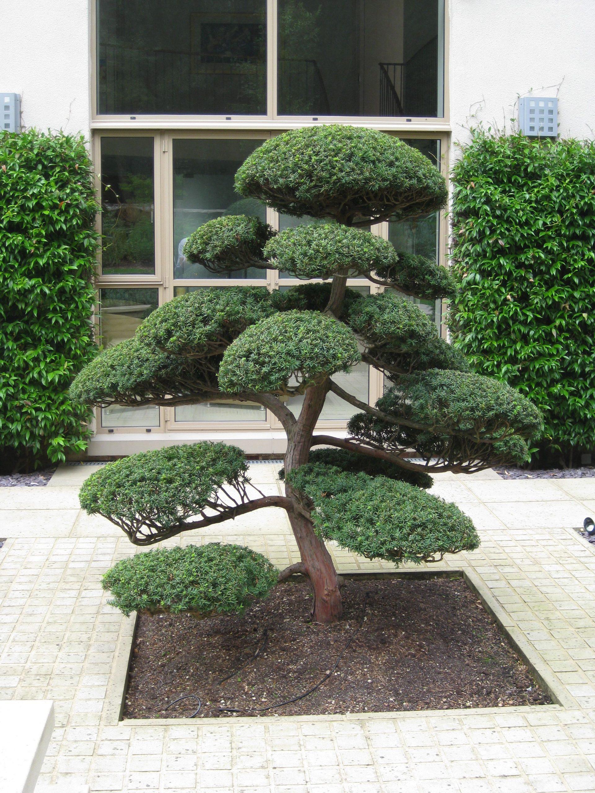 Arbres Nuage Japonais - Bonsai Geant Juniperus Virg. 'glauca ... serapportantà Idee Amenagement Jardin Zen