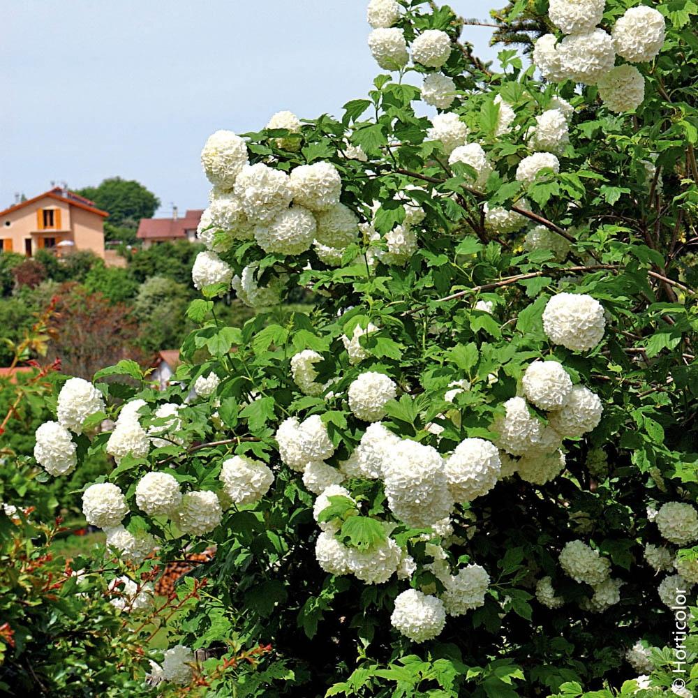 Arbuste : Créez Votre Haie avec Buisson Pour Jardin