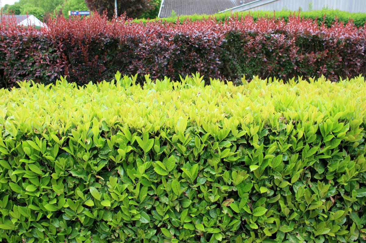Arbustes À Croissance Rapide | Place Des Jardins: Le Blog dedans Buisson Pour Jardin