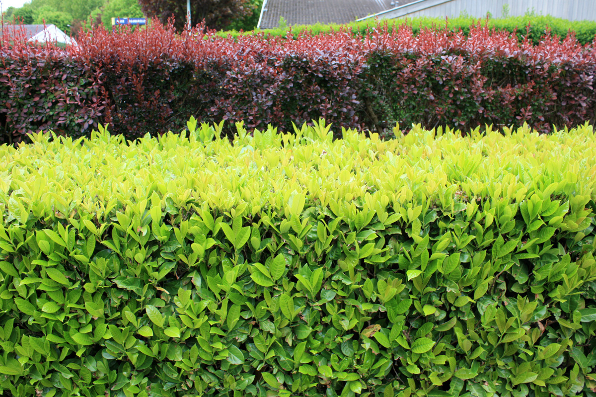 Arbustes À Croissance Rapide | Place Des Jardins: Le Blog serapportantà Haie De Jardin Pousse Rapide
