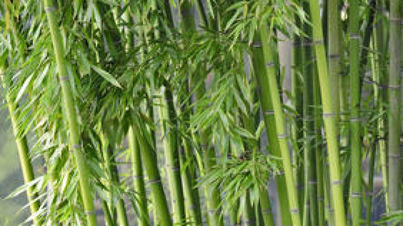 Bambous Envahissants : Les Solutions Pour S'en Débarrasser intérieur Comment Eliminer Les Bambous Dans Un Jardin