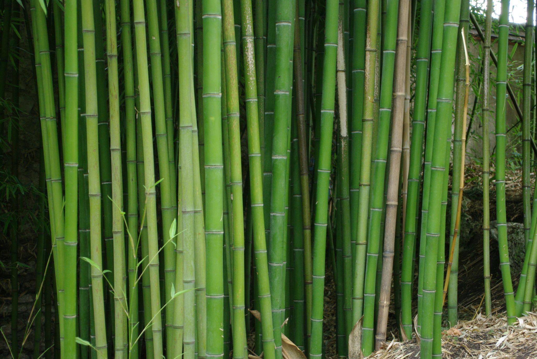 Bambous Traçants : Comment Les Éradiquer ? avec Comment Eliminer Les Bambous Dans Un Jardin