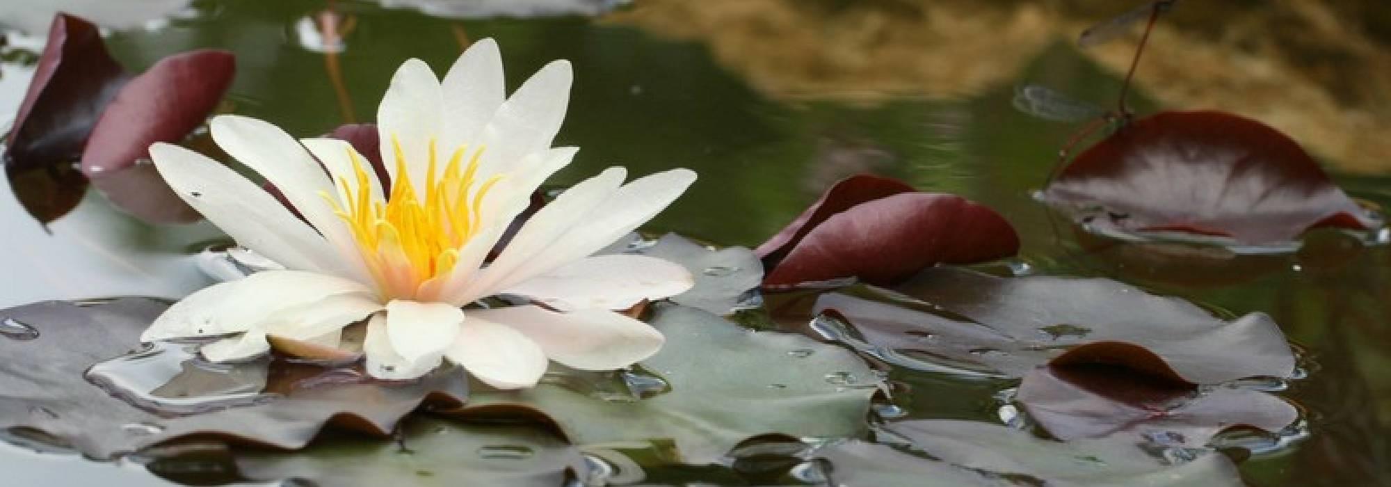 Bassin : 10 Plantes Aquatiques, Immergées Ou Flottantes ... encequiconcerne Plante Bassin De Jardin