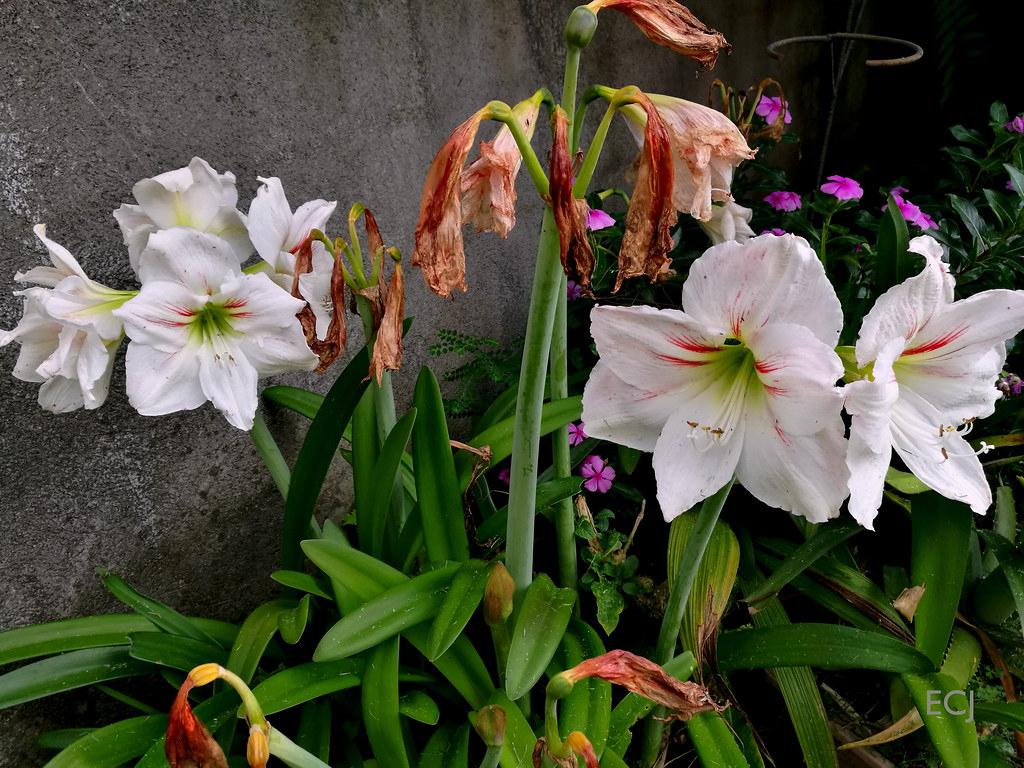 Bellas Flores De Jardín / Beautiful Garden Flowers | Flickr dedans Amaryllis De Jardin
