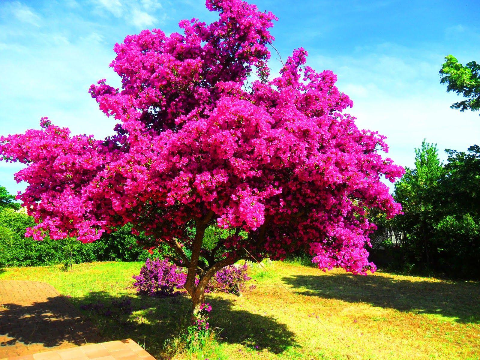 Bougainvillier | Bougainvillier, Arbre, Arbre D Ornement destiné Arbre De Jardin A Croissance Rapide