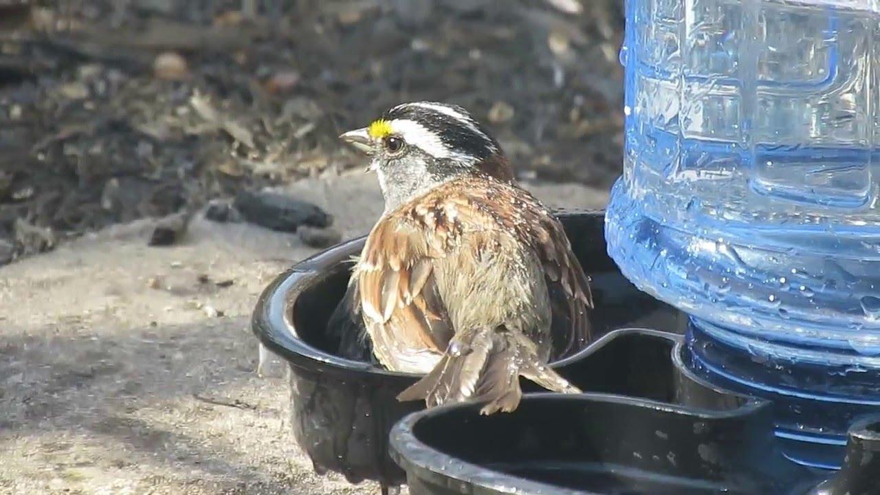 Bruant À Gorge Blanche Au Bain D'oiseau intérieur Baignoire Oiseaux Jardin
