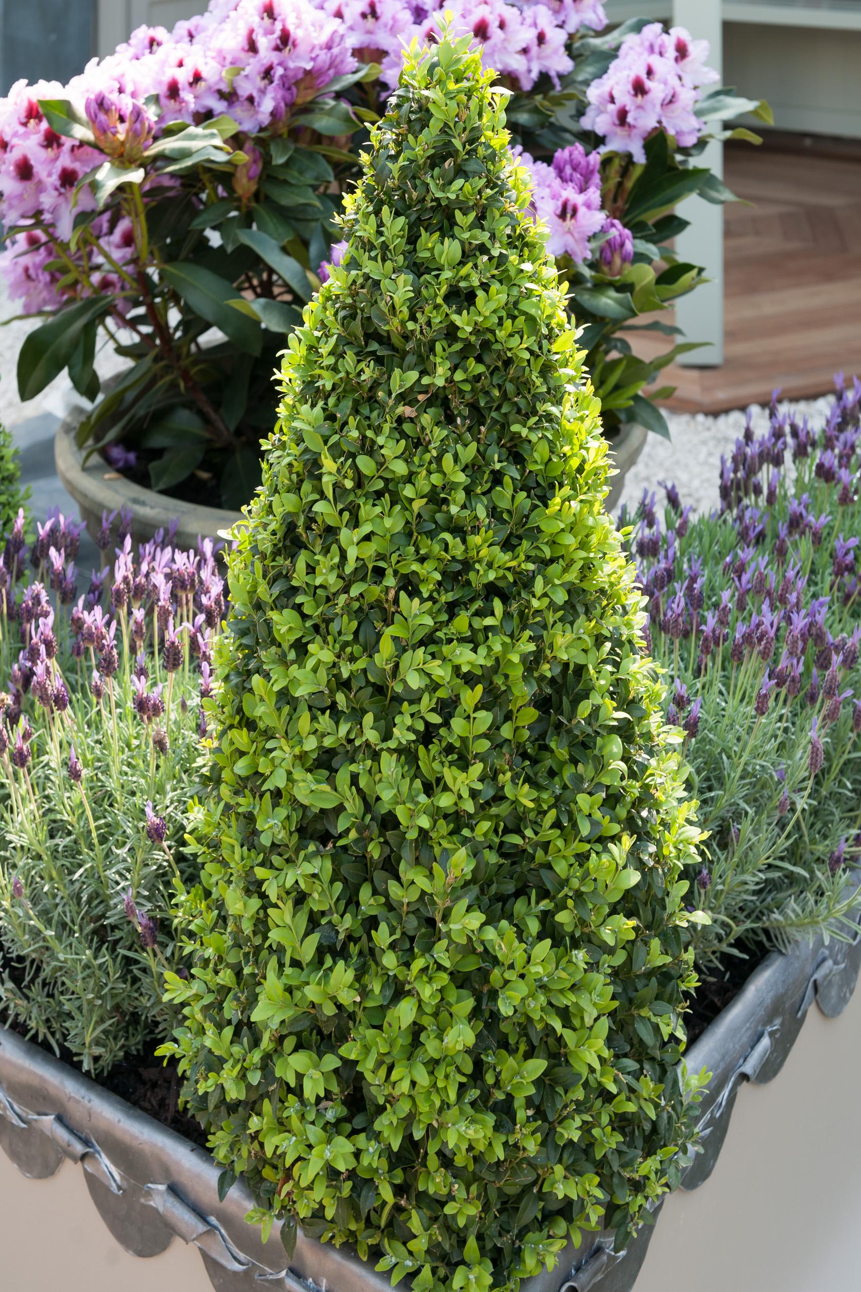 Buis Commun 'pyramidalis' - Buis - Arbuste - Arbre, Arbuste ... avec Arche Jardin Jardiland