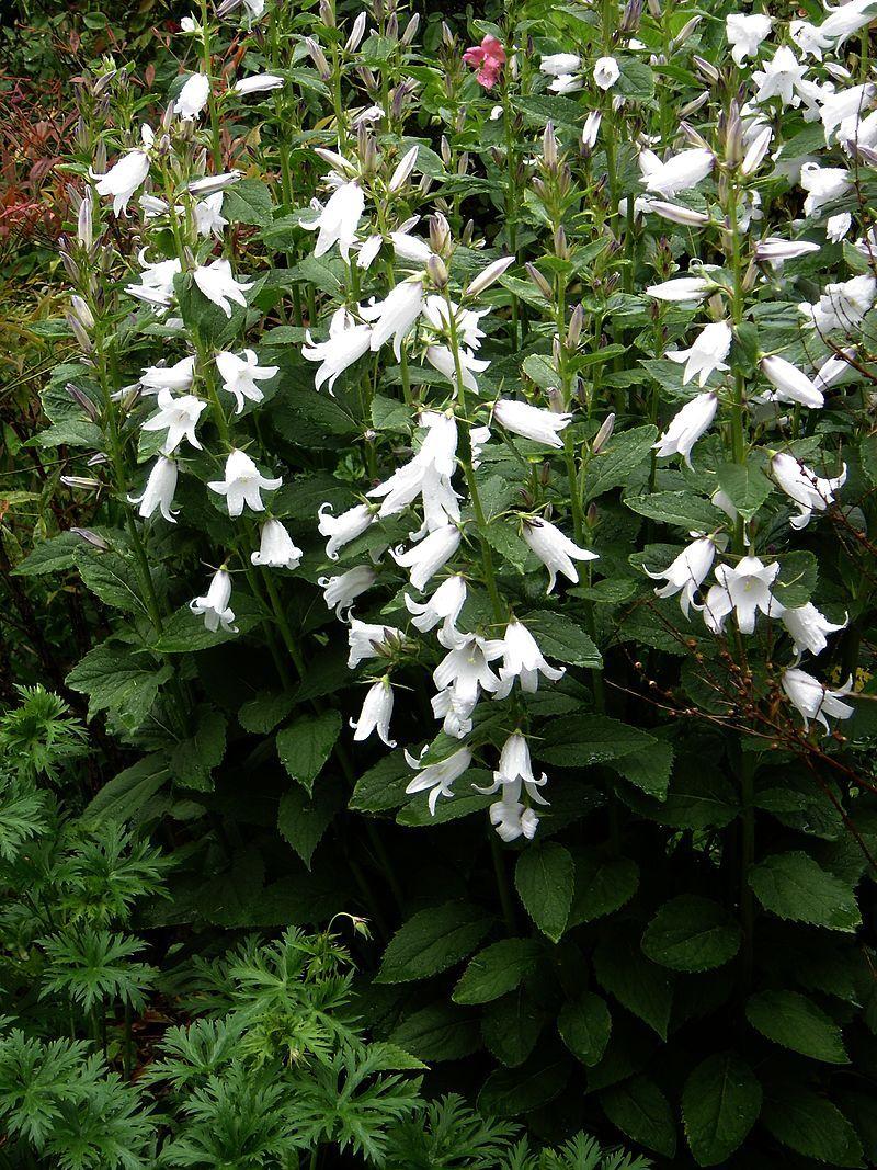 Campanula Latifolia 'alba' - Plantes Vivaces encequiconcerne Bassin De Jardin Préformé Grande Taille