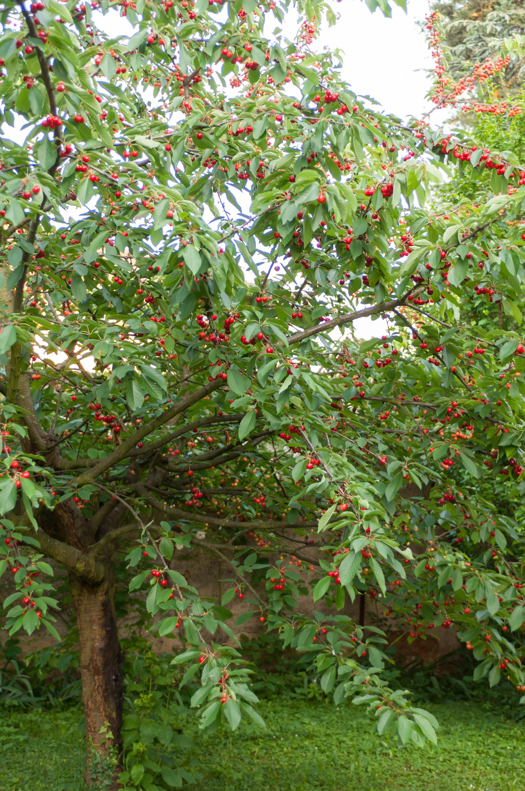 Cerisier - Arbre Et Arbuste Fruitier - Potager & Verger ... tout Arche Jardin Jardiland