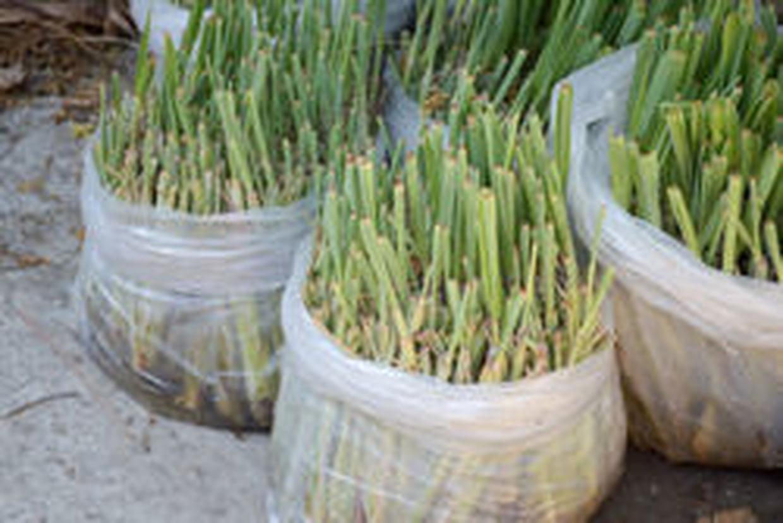 Citronnelle : Cette Plante Est Très Utile Contre Les Moustiques destiné Anti Moustique Jardin