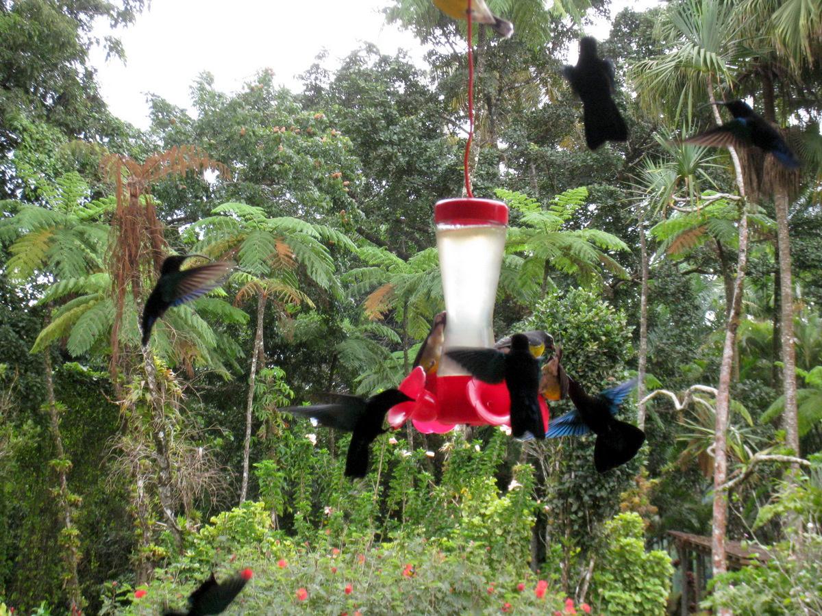 Colibris Au Jardin De Balata, Martinique. - Le Blog De Acbx41 encequiconcerne Au Jardin Des Colibris