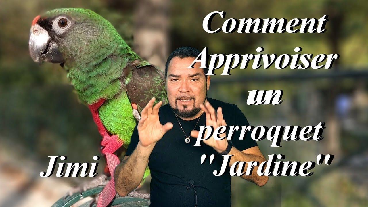 Comment Apprivoiser Un Perroquet ''jardine'' -  ... avec Perroquet Jardine