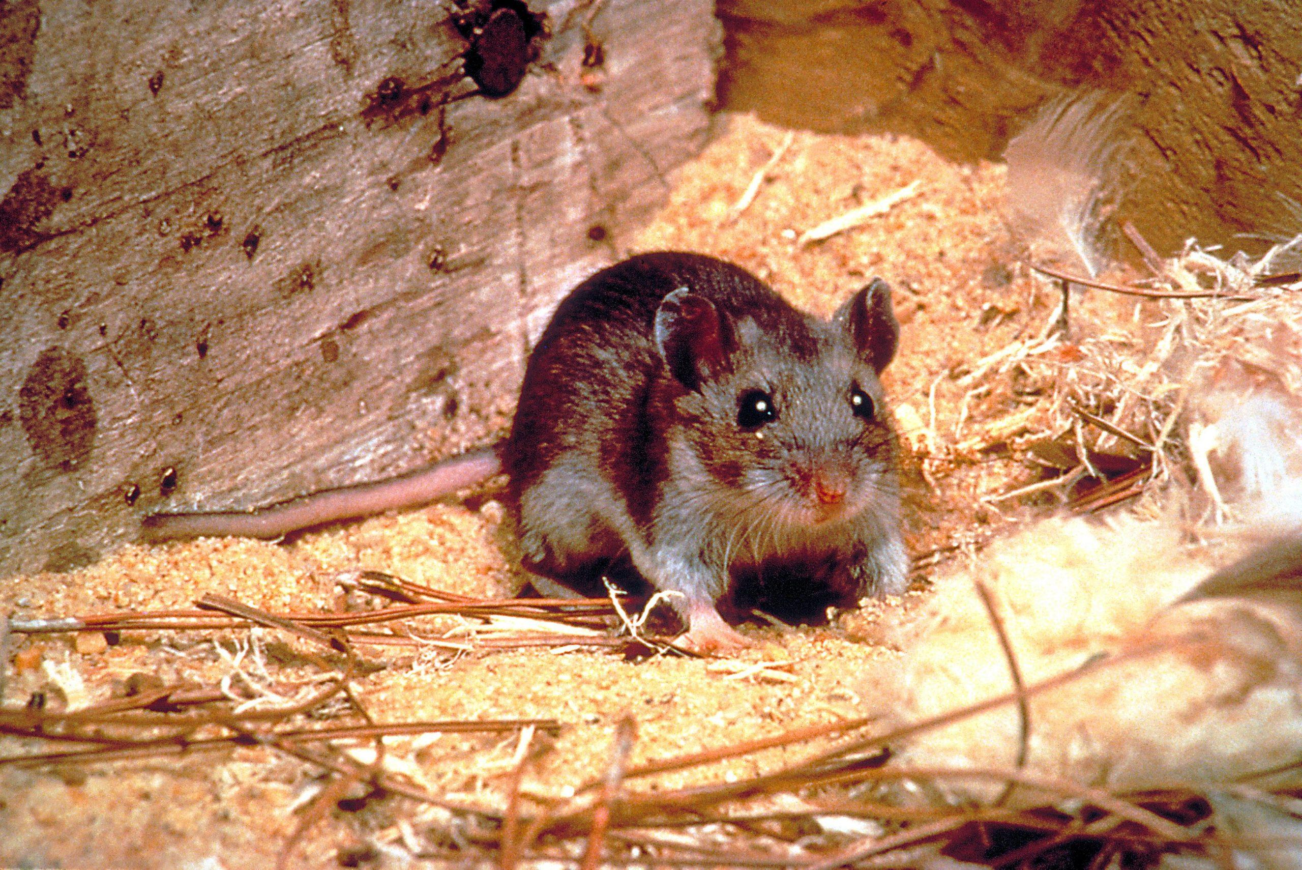 Comment Dératiser Naturellement ? | Ferme Croix concernant Comment Se Débarrasser Des Rats Dans Le Jardin