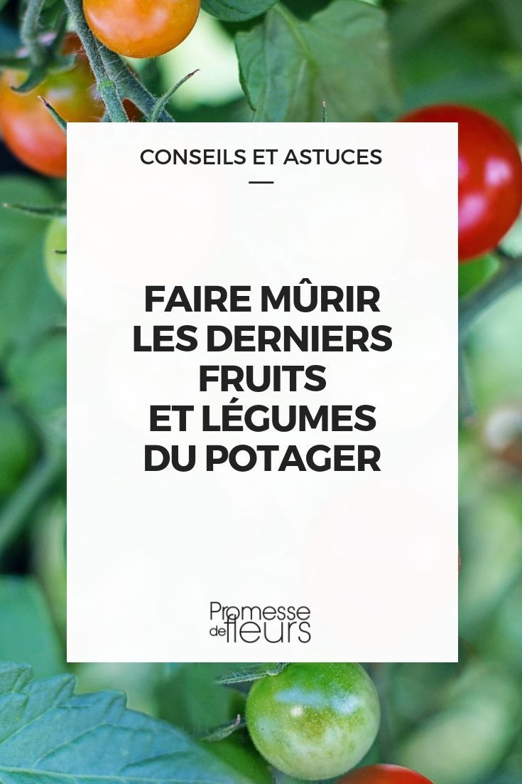 Comment Faire Mûrir Les Derniers Fruits Et Légumes Du ... à Jardiner Pour Les Nuls