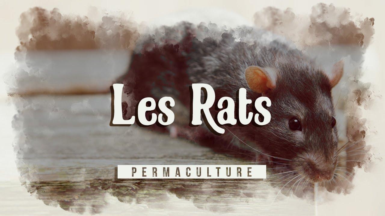 Comment Se Débarrasser Des Rats Au Jardin, Dans La Maison Etc... ? 🐀 tout Comment Se Débarrasser Des Rats Dans Le Jardin