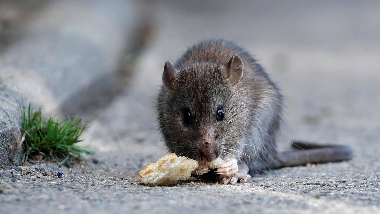 Comment Se Débarrasser Des Rats Et Des Souris pour Comment Se Débarrasser Des Rats Dans Le Jardin