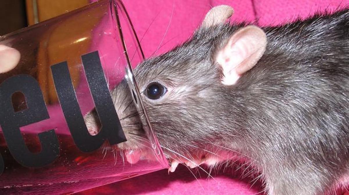Comment Se Débarrasser Des Rats ? Utilisez Du Coca-Cola ... dedans Comment Se Débarrasser Des Rats Dans Le Jardin