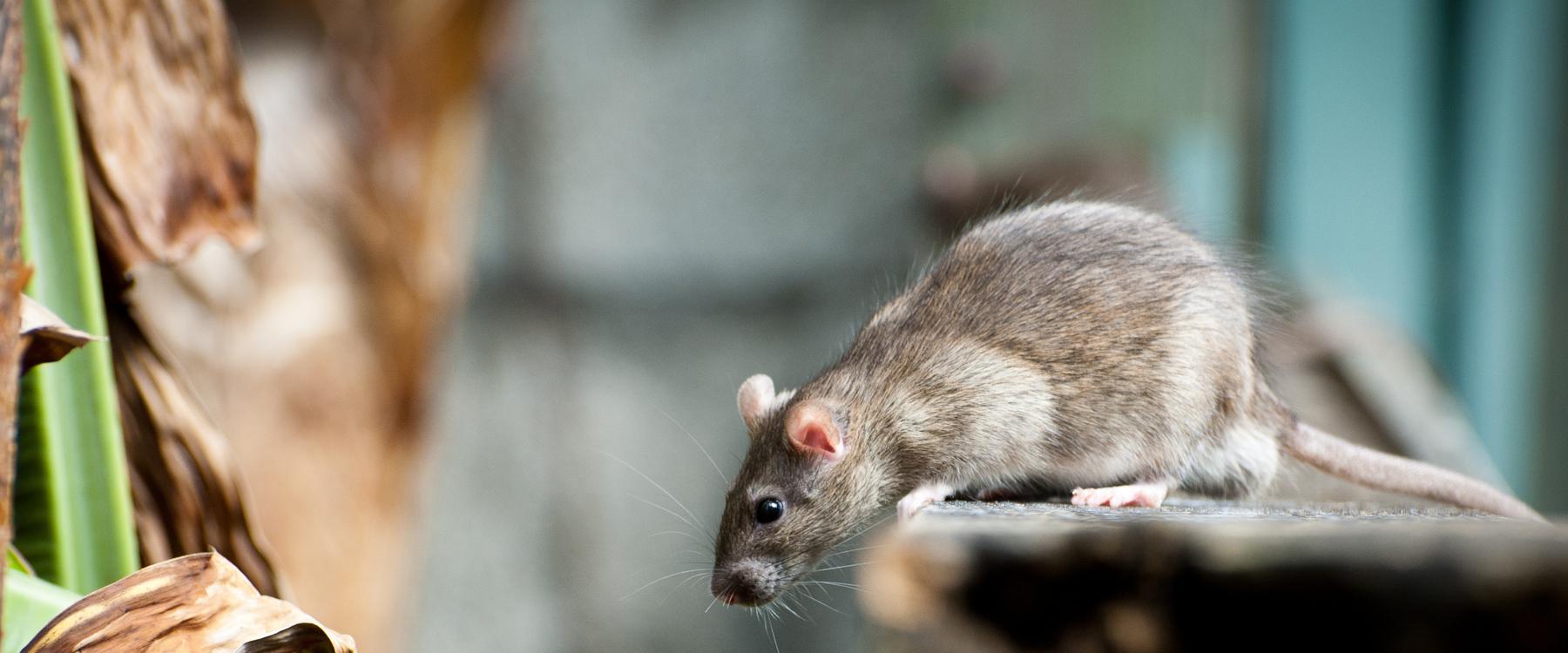 Comment Se Débarrasser Des Souris Et Des Rats | Caa-Québec concernant Comment Se Débarrasser Des Rats Dans Le Jardin