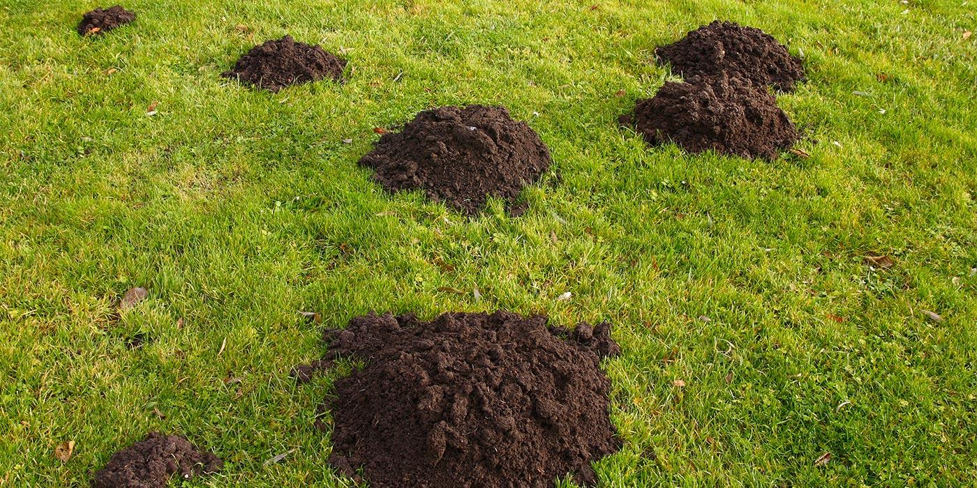 Comment Se Débarrasser Des Taupes Dans Le Jardin ? destiné Comment Faire Fuire Les Taupes Dans Le Jardin
