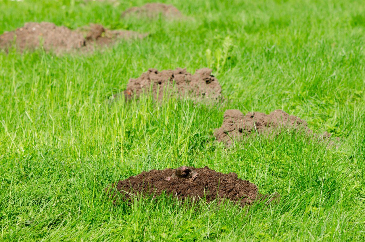 Comment Se Débarrasser Des Taupes ? - Le Blog De Mon Magasin ... encequiconcerne Comment Faire Fuire Les Taupes Dans Le Jardin