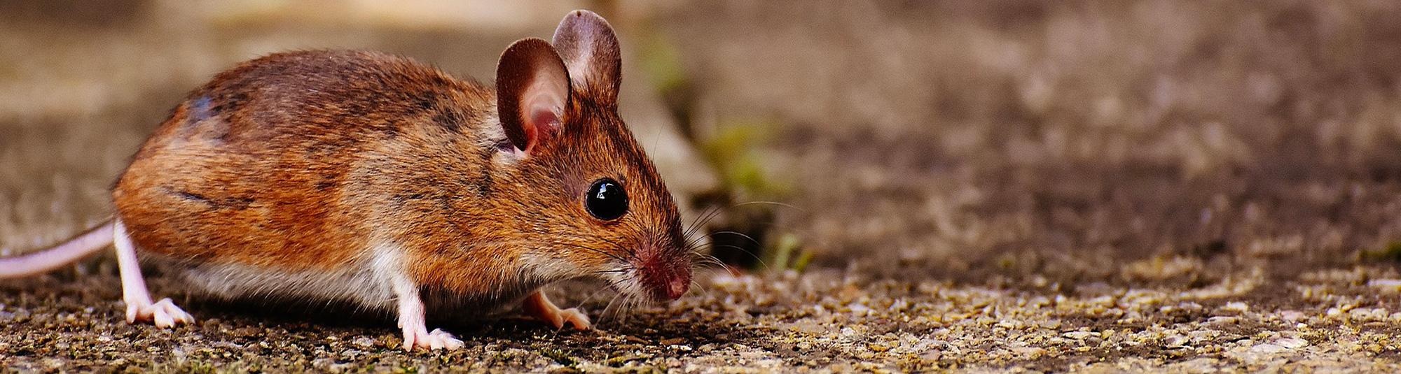 Comment Se Débarrasser Efficacement Des Souris ? avec Comment Se Débarrasser Des Rats Dans Le Jardin