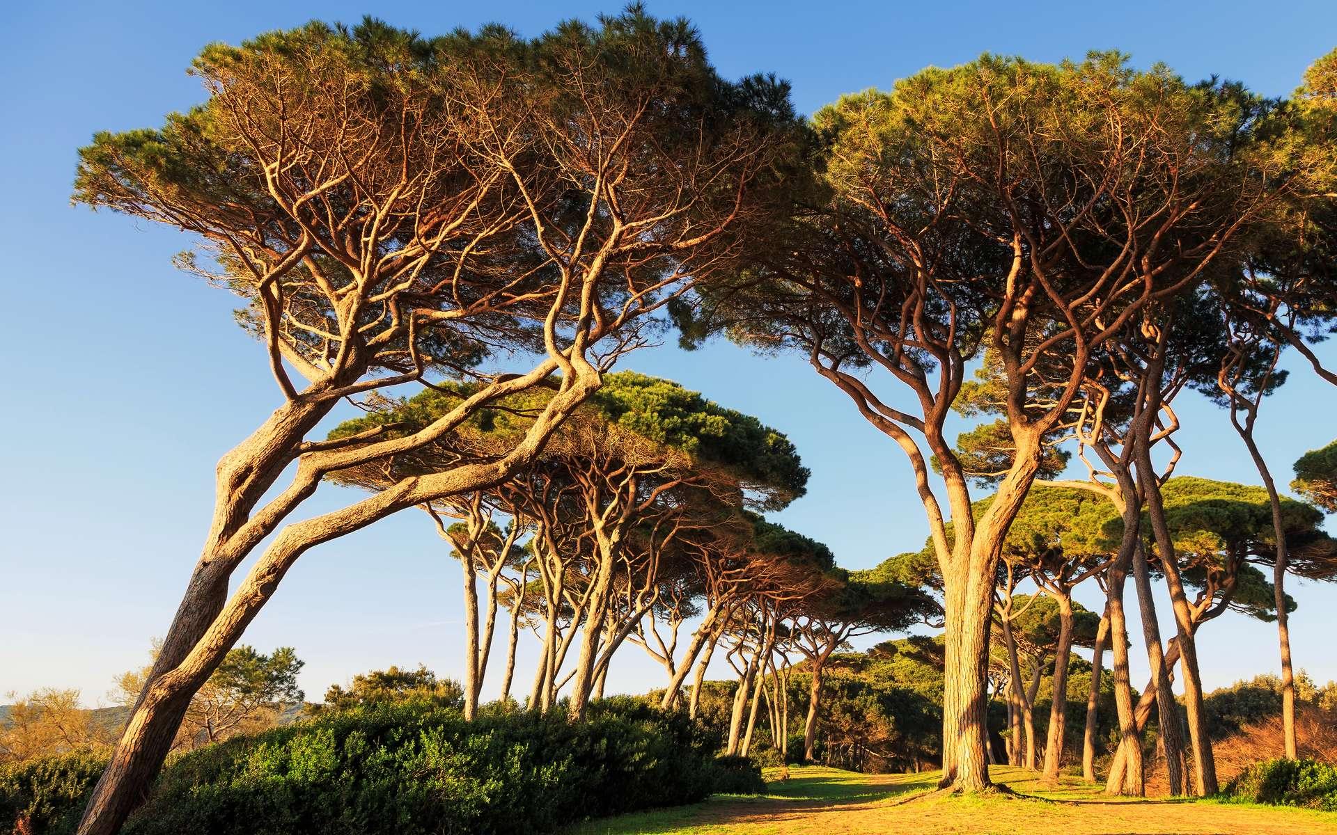 Définition | Pin Maritime - Pinus Pinaster - Pin Des Landes ... encequiconcerne Ecorce De Jardin