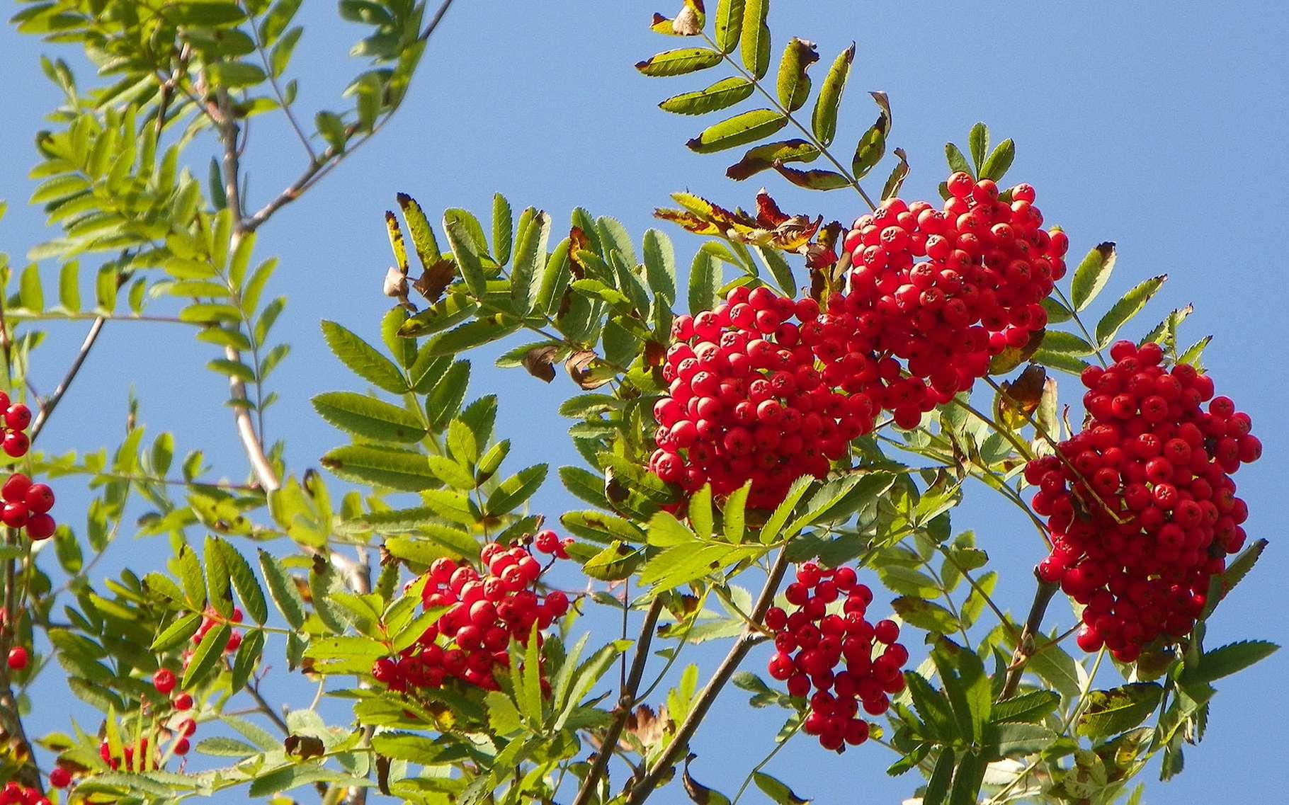 Définition | Sorbier Des Oiseleurs - Sorbus Aucuparia ... pour Arbre De Jardin A Croissance Rapide