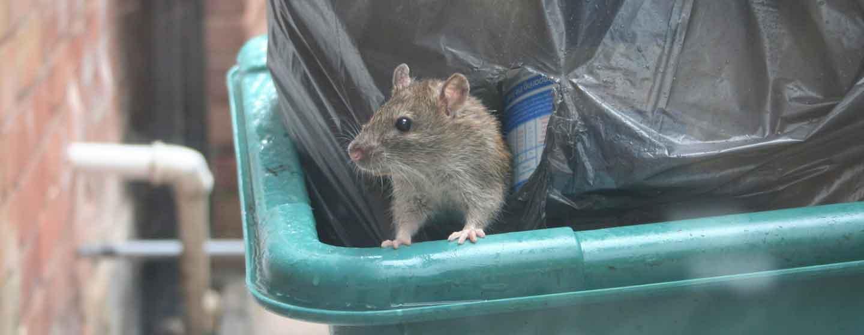 Des Rats Dans Votre Jardin & Votre Rue: Que Faire? - Anticimex concernant Comment Se Débarrasser Des Rats Dans Le Jardin