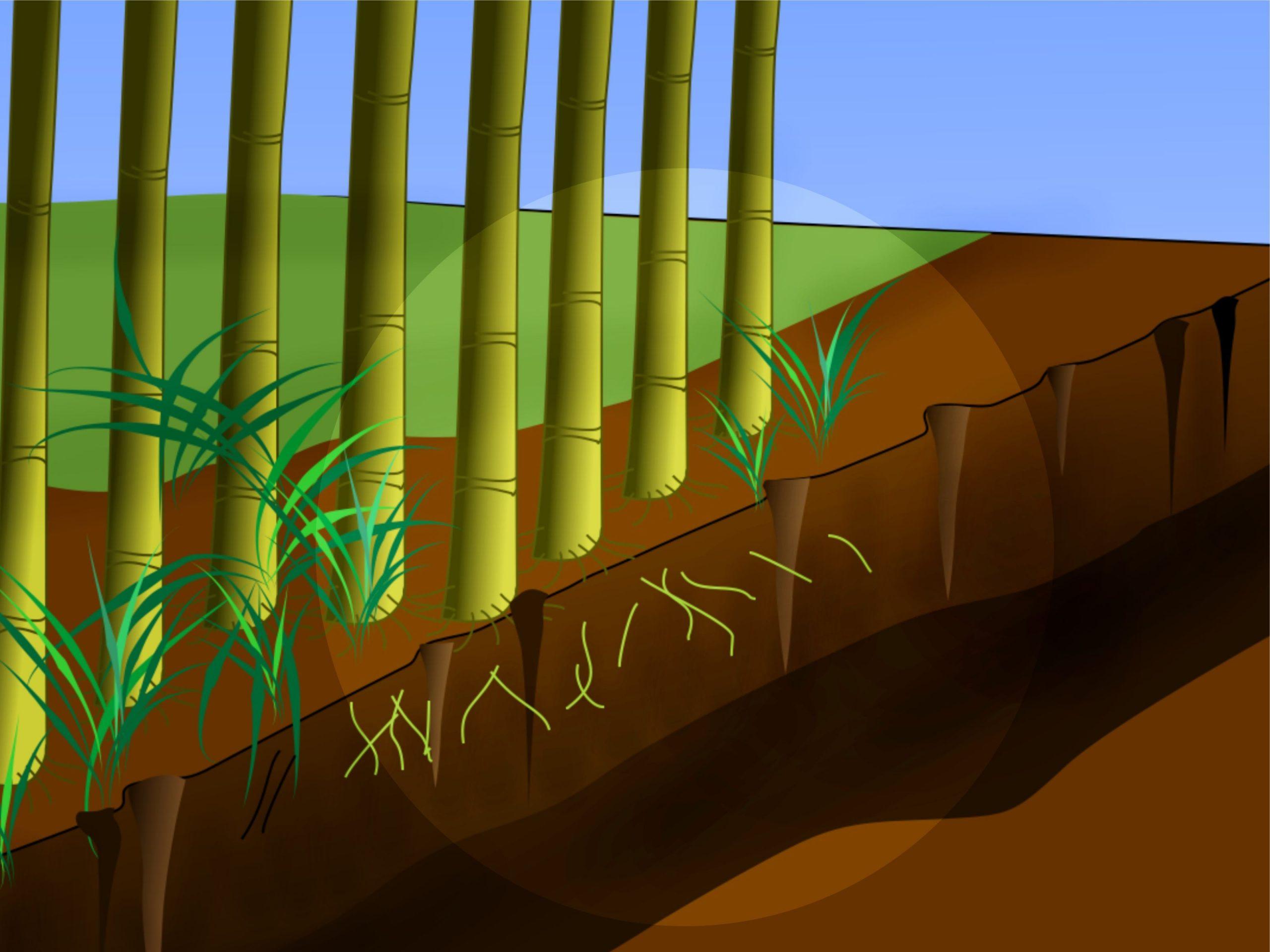 Éliminer Les Bambous | Bambou | Bambou, Culture Du Bambou Et ... encequiconcerne Comment Eliminer Les Bambous Dans Un Jardin