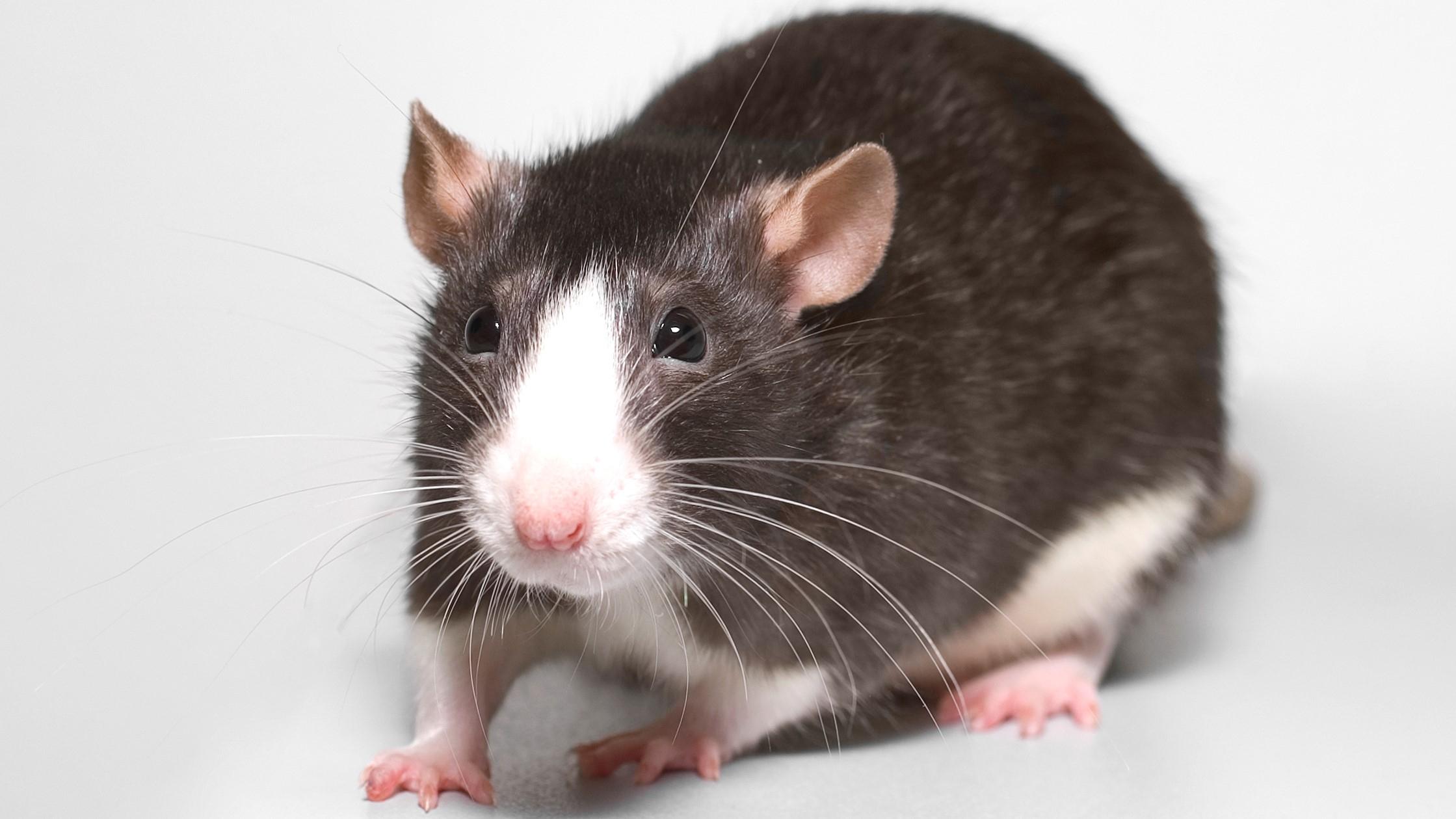 Entreprise De Dératisation A Toulouse serapportantà Comment Se Débarrasser Des Rats Dans Le Jardin