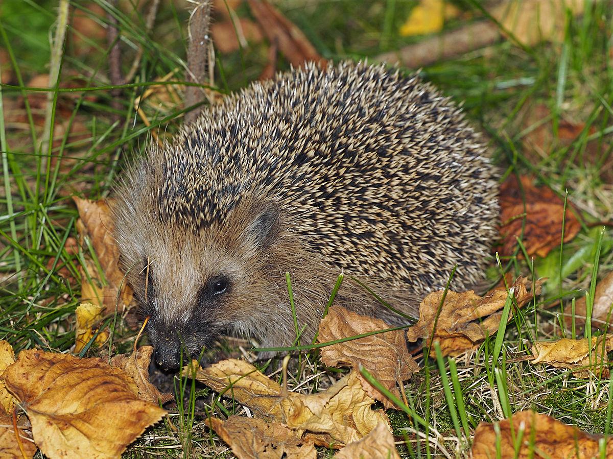 Erinaceus Europaeus — Wikipédia concernant Nourriture Hérisson Jardin