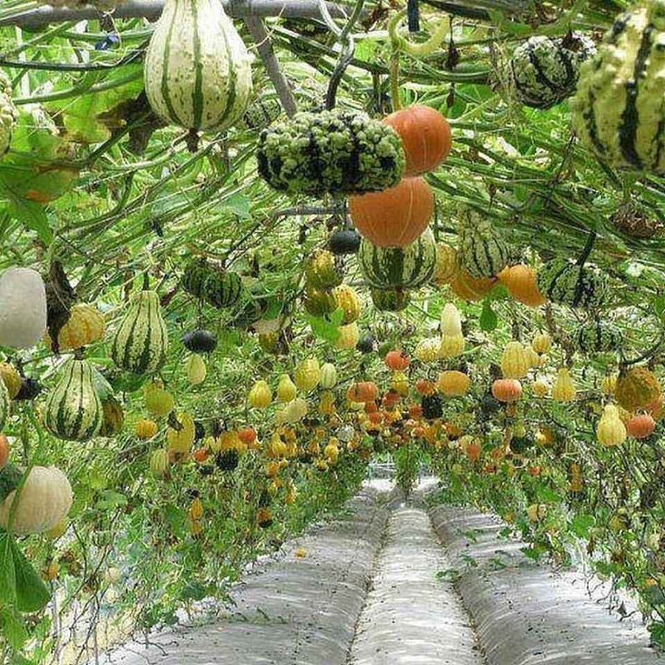 Esthétique : Faire Pousser Les Courges En Hauteur | Jardin ... concernant Comment Faire Un Tunnel De Jardin