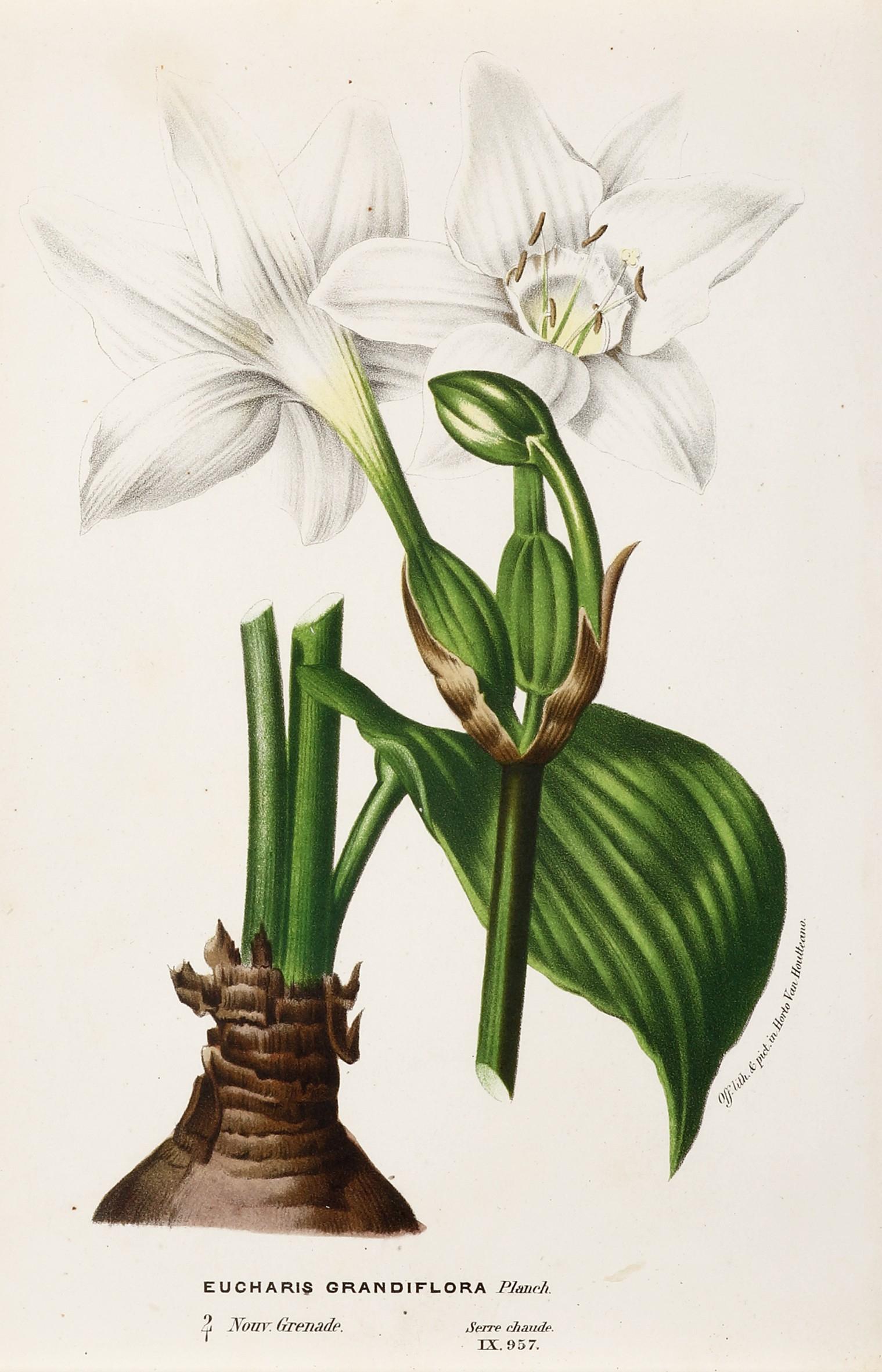 Eucharis Grandiflora tout Serre De Jardin Amazon