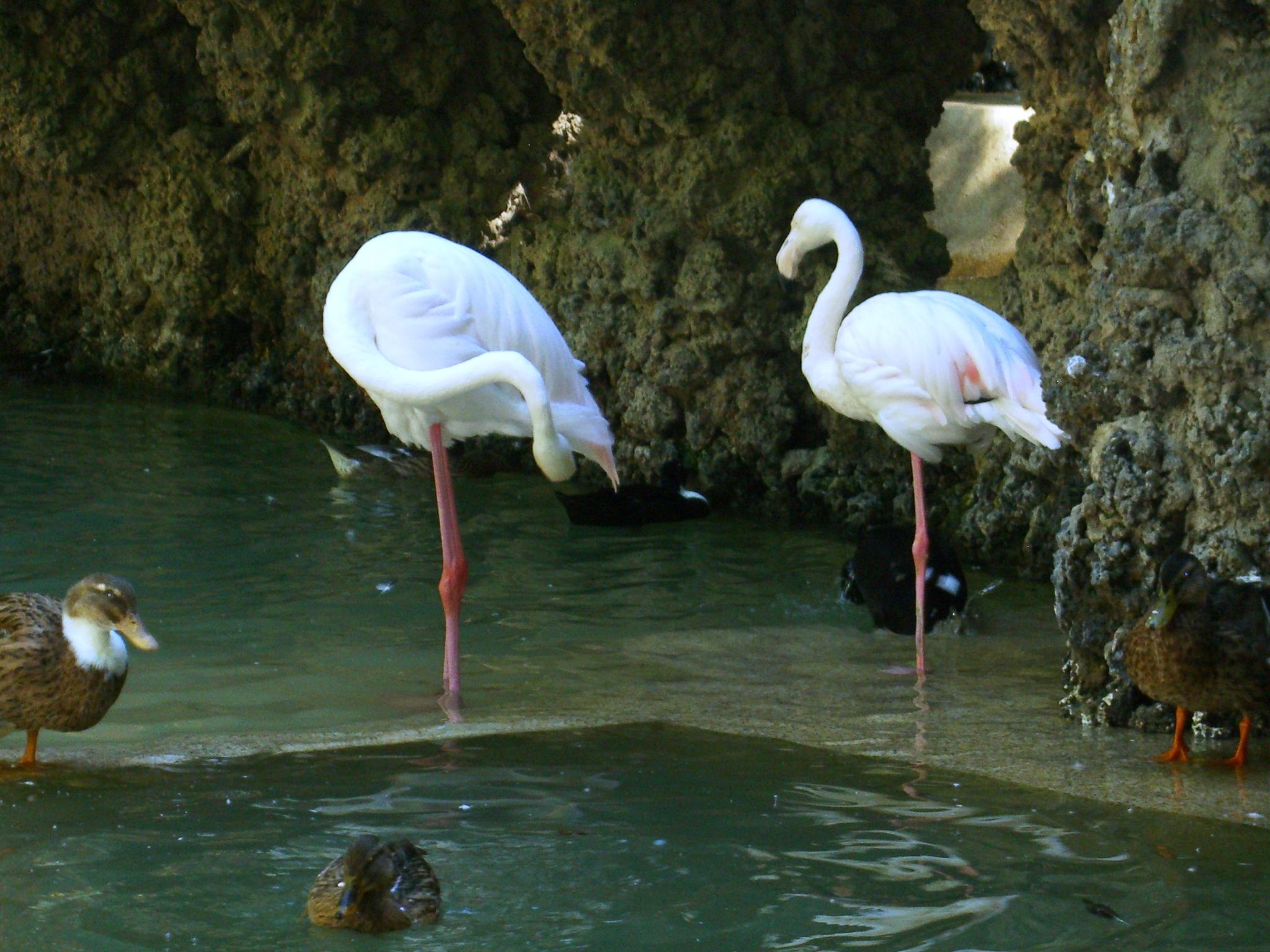 File:les Flamants Roses - Jardin D'essai El Hamma - Alger ... serapportantà Flamant Rose Jardin