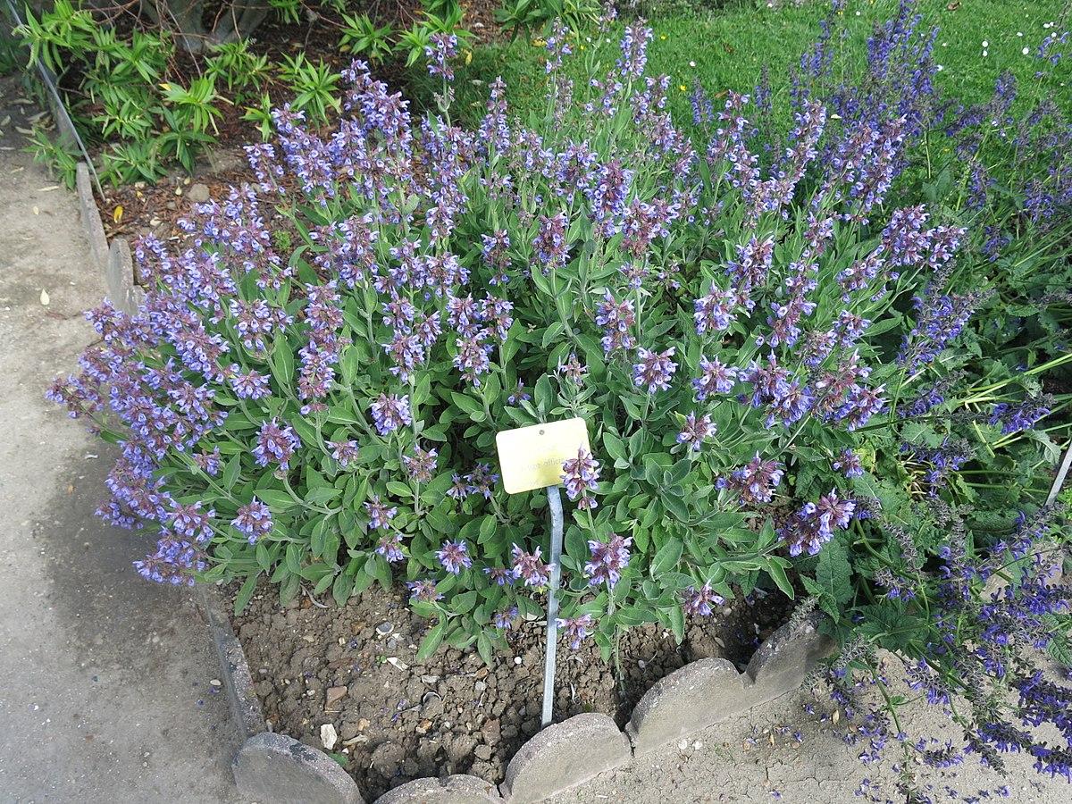 File:salvia Officinalis (Jardin Des Plantes De Paris).jpg ... tout Etiquette Jardin