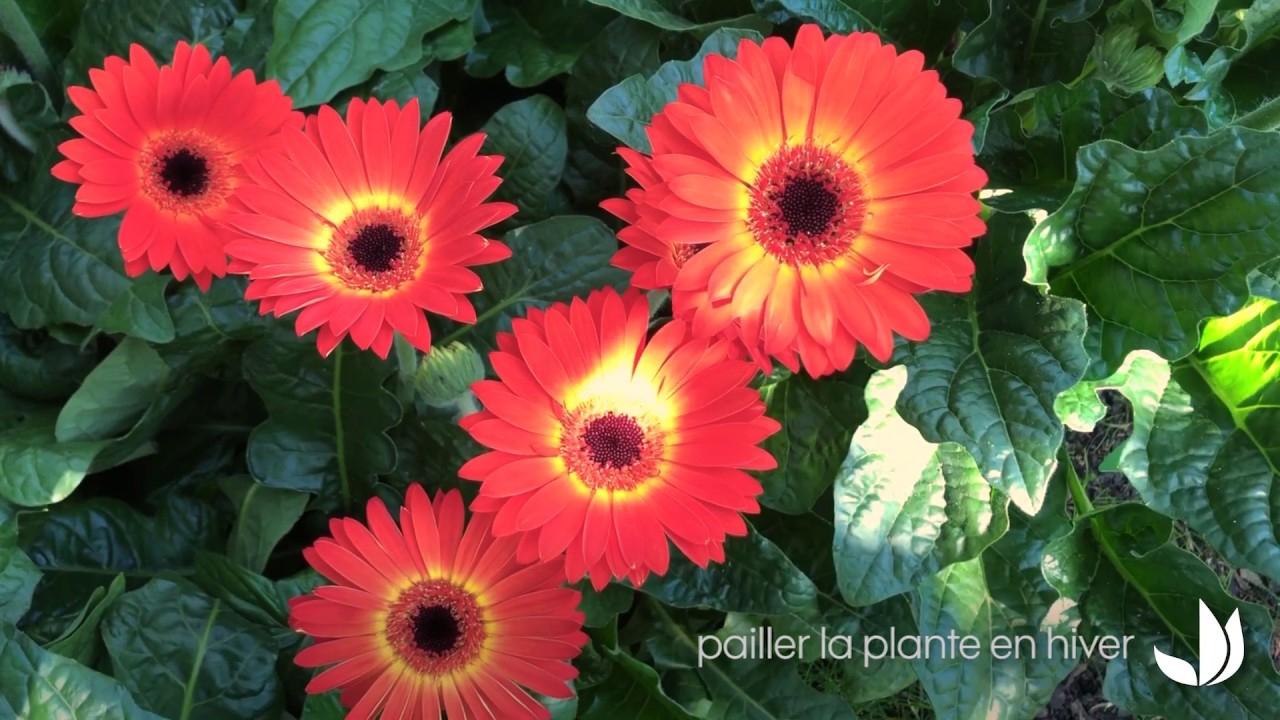 Fleurs Du Jardin : Le Gerbera Garvinea - Jardinerie Truffaut Tv à Truffaut Abri De Jardin