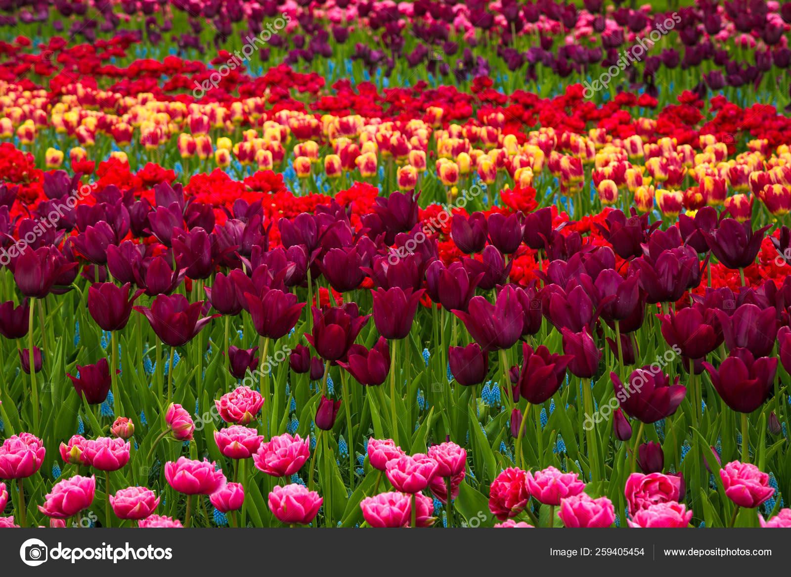 Flower Field Colourful Tulips Spring Colorful Tulips ... tout Jardin De Keukenhof