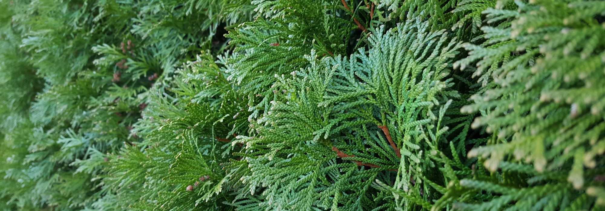 Haie À Croissance Rapide : 10 Arbres Et Arbustes Qui ... destiné Arbre De Jardin A Croissance Rapide