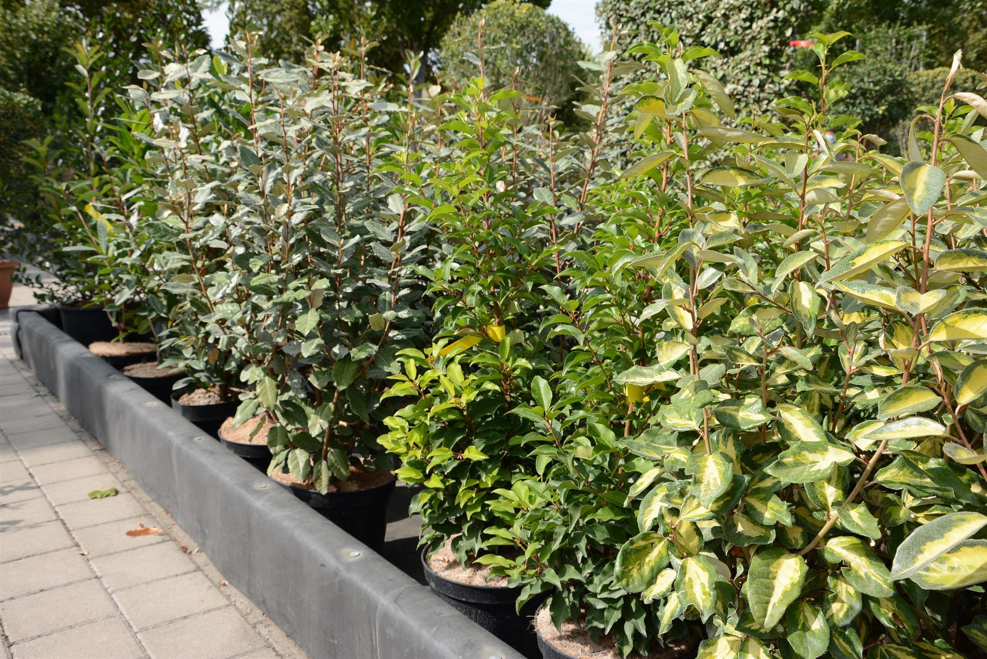 Haie De 15 Arbustes Persistants (Fermeture Visuelle Toute L ... dedans Haie De Jardin Pousse Rapide